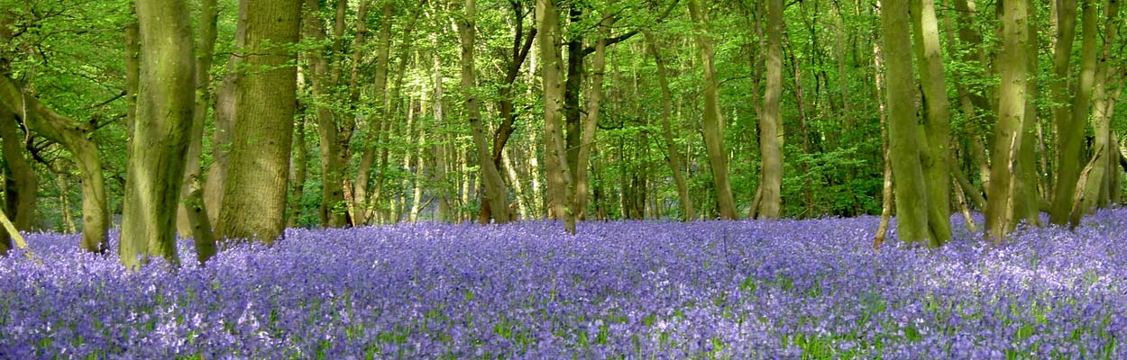 The Bleubell Wood at Herongate Wood Cemetary