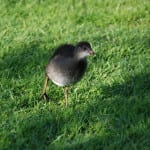 One of our Moorhen