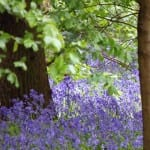 Herongate's Bluebells